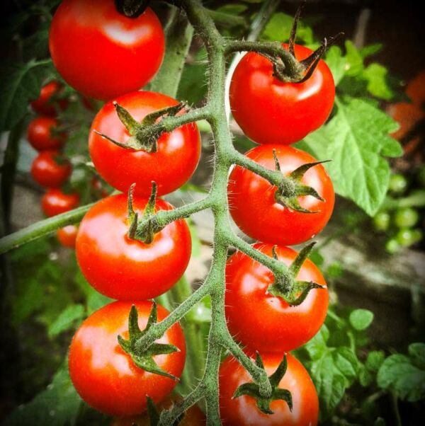 Fototafel, Tomaten in Mamas Garten