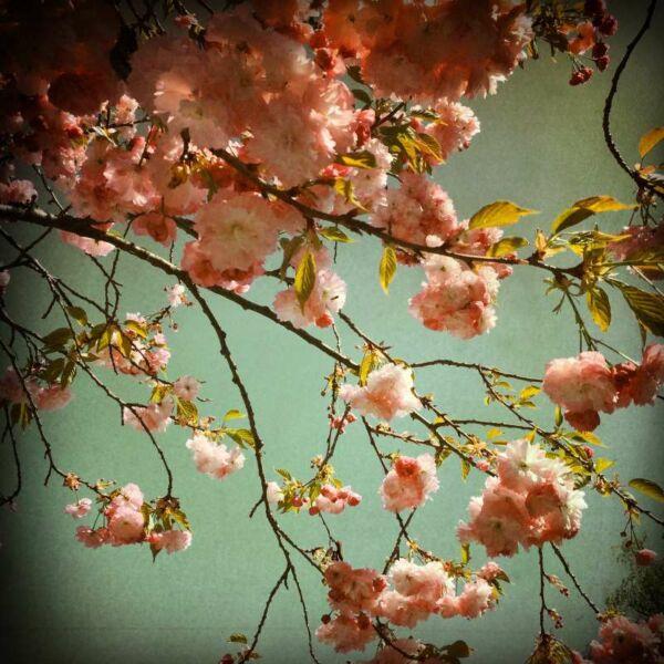Fototafel, 2er-Set, Mandelblüte bei Edenkoben